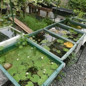 夏から秋へ・・「広い水槽で大きく育てヨ!・・」