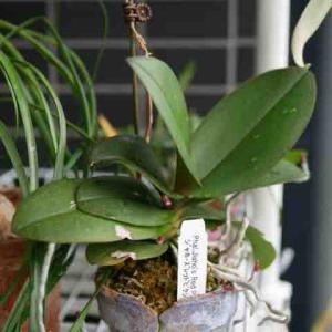 ミディ胡蝶蘭の花芽きたー。