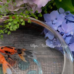 ちょっと一息 紫陽花と金魚ちゃん。。☆