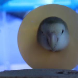 小鳥の病院へ
