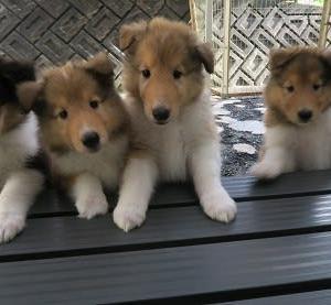コリーの子犬たち