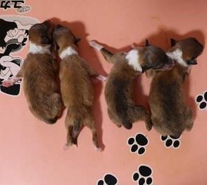 コリーの子犬四頭生まれました。