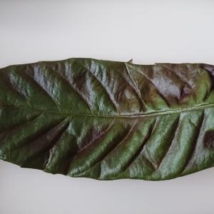 ビワ葉温湿布