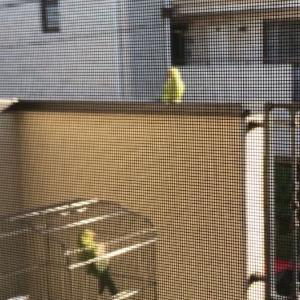 【ワカケホンセイインコ育成日記②】日光浴中に同類の野生インコが飛んで来た!