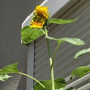 [ヒマワリ成長日記] 庭に植えたヒマワリが咲きました:種まき~発芽~成長~開花まで