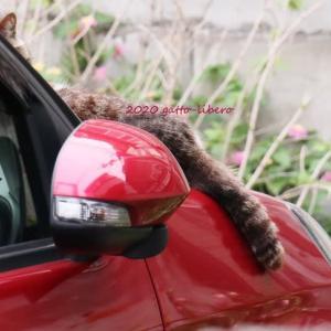 赤い車の上のにゃん -1