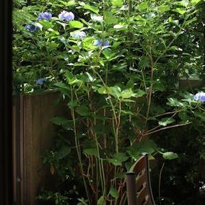 紫陽花をバッサリ剪定&無事蓼科に着きました。