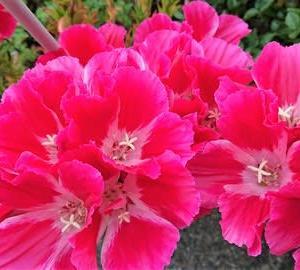 ゴテチャ(ゴデチア)の花