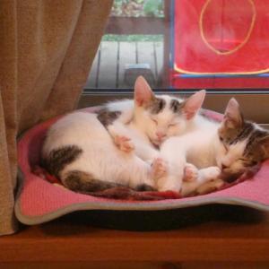 10月6日(日曜日)猫譲渡会を開催致します!