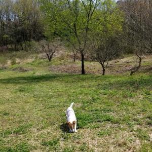 アイビー、静かな里山公園で桜散歩