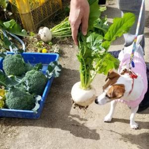 アイビー、畑の冬野菜をチェック