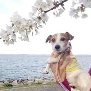 アイビー、琵琶湖湖畔でお花見散歩