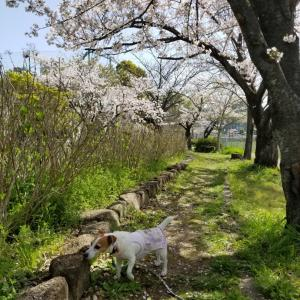 桜満開散歩