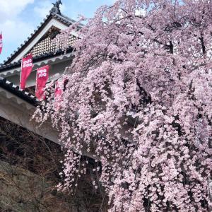 しだれ桜の美しさに癒される