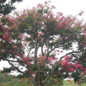 サルスベリの花を見ながら