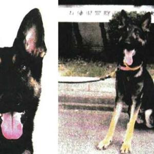 8畳2間に犬164匹…「まるで満員電車」多頭飼育崩壊か・不明女性の捜索中、リード振り切って逃げ出した警察犬を山中で発見