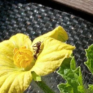 西瓜に蟻が…胡瓜にミツバチが・・・
