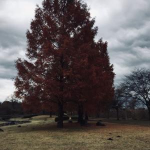 公園の木も落葉間近です。