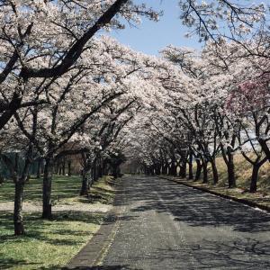 桜は満開ですが、誰もいませんさみしそうです。