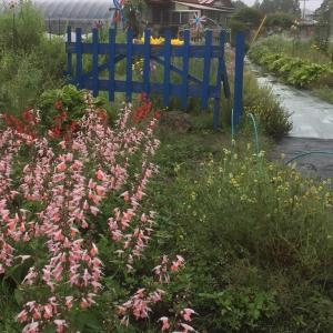 花壇の花が沢山咲いています、サルビアです。