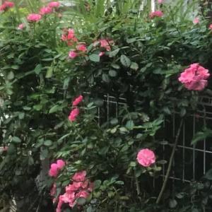 2回目のバラが咲きました