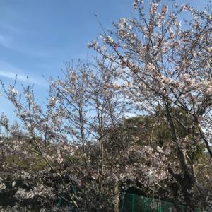 近所の桜&ちらっとふたばちゃんがTVに♪