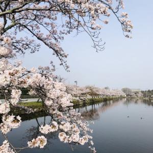 彦根城満開の桜&近江八幡の桜