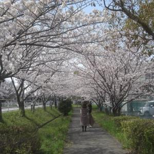 サクラ満開(鍋田川堤桜並木 2020年4月2日)