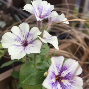 種まきフロックス開花