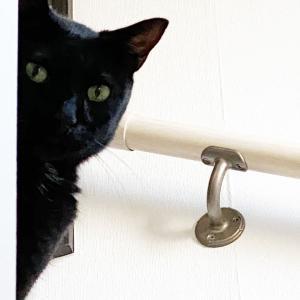 歯肉炎? 口内炎?? 口の中を痛がった黒猫氏は1週間の投薬治療でどう変わったのか?