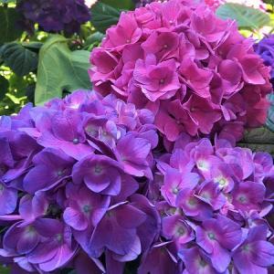ミラノも紫陽花の季節…♡
