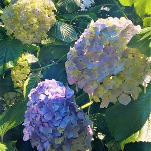 淡いシャボン玉色♡咲き始めの紫陽花 in ミラノ♪