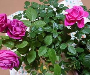 「春薔薇をもっと見事に咲かせる剪定」 バラ講座in高松Flag