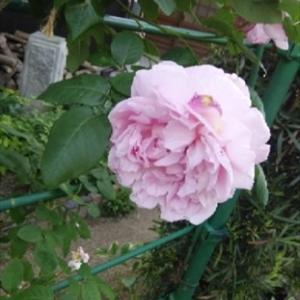 バラとポメマル