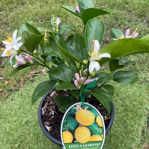 鉢で育てる矮性マイヤーレモンの木