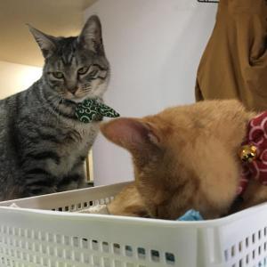 ワイ、2匹目の猫を飼ってしまう