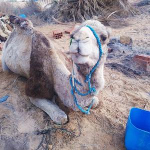 砂漠の民に憧れて、ラクダと一緒に砂漠を旅することにした冒険家だけど part 2