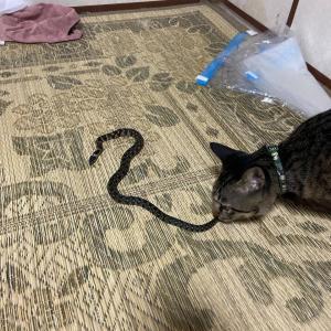 猫が蛇捕まえてきたんやが…