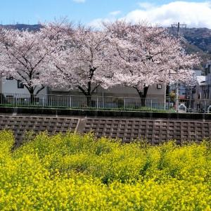 今日も近所の花見スポットを散策!