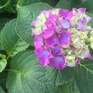 これからは紫陽花の季節