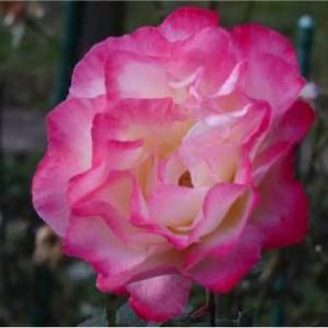 大和のバラたち