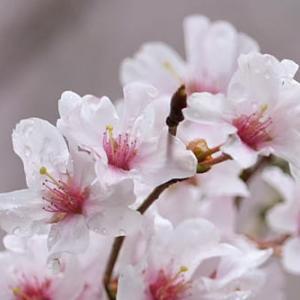 ◇兼六園の桜2020-4 小彼岸、江戸彼岸、枝垂桜