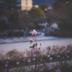 今日の写真「夕暮れのバラ」-風景