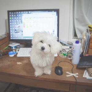 今日の写真「机に乗ったワルチーズ」-犬写真
