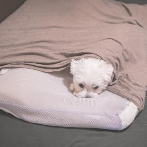 今日の写真「枕に入ったワルチーズ」-犬写真