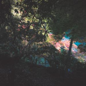「宮島の紅葉谷、最新紅葉情報…! その1」-風景