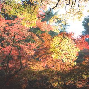 「宮島の紅葉谷、最新紅葉情報…! その2」-風景