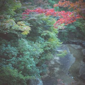 「宮島の紅葉谷、最新紅葉情報…! その3」-風景