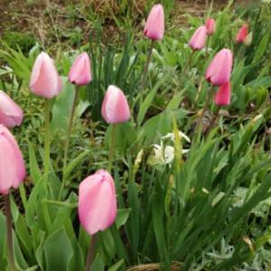 咲いた咲いたチュ-リップの花が