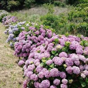 6月は、紫陽花・・・新所 あじさいロード